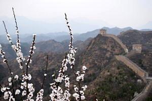 Kirschblüten vor dem Hintergrund der Chinesischen Mauer.