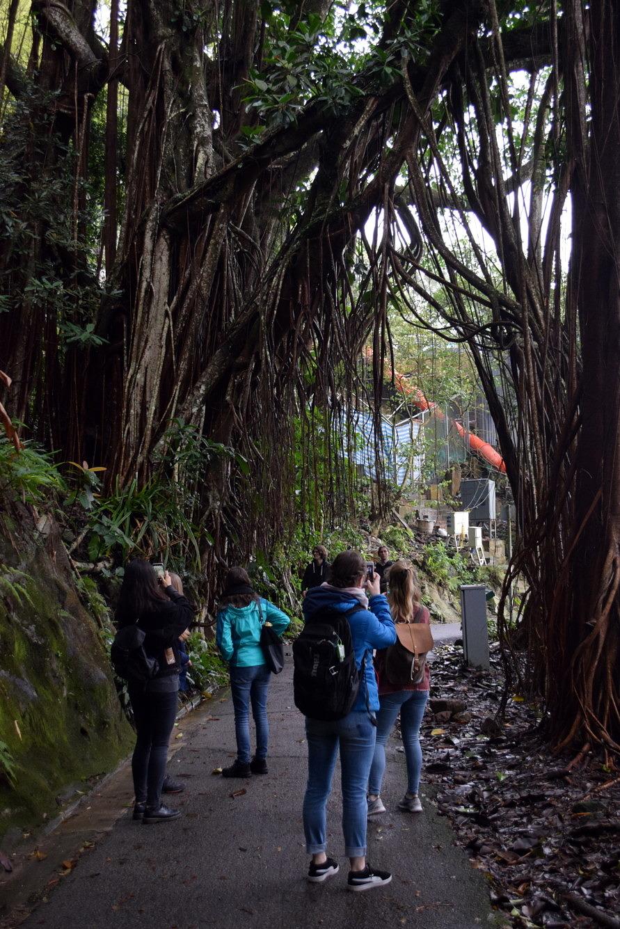 Ein großer, den Weg überwachsender, Banyang Baum auf dem Victoria Peak in Hongkong.